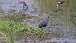 Birds of Sri Lanka - Crakes, Ducks, Geese, Gulls, Kingfishers, Rails, Terns
