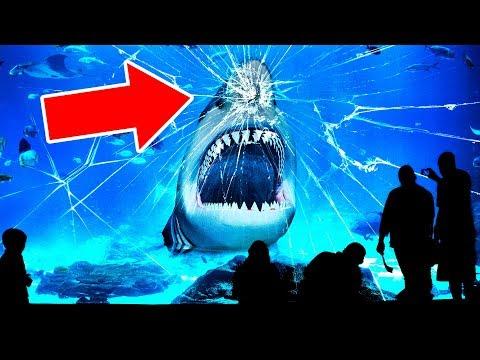 Вот Почему ни в Одном Океанариуме Мира нет Больших Белых Акул (видео)