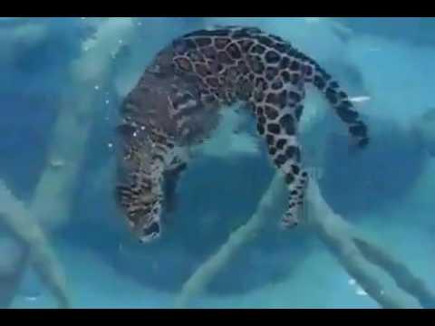 Ягуар родственник дальневосточного леопарда \\ Jаguаr  соusin оf Амur lеораrd - DomaVideo.Ru