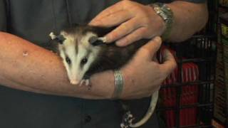 Exotic And Unusual Pets - Baby North American Opossum