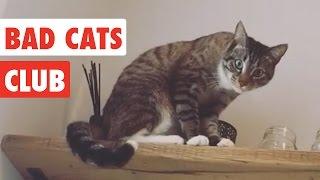 Video Bad Cats Club | Funny Cat Video Compilation 2017 MP3, 3GP, MP4, WEBM, AVI, FLV Oktober 2018