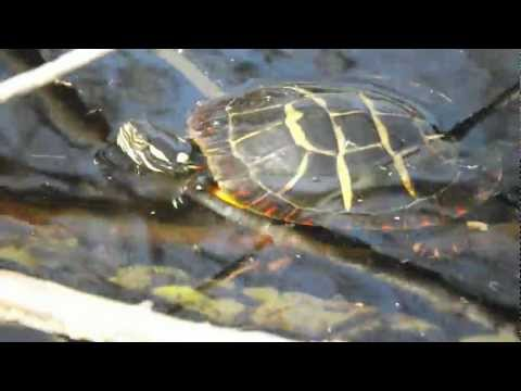 Eastern Painted Turtle (Chrysemys picta) seen on Meteghan River, Nova Scotia