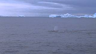 South Antarctic whales feeding krill v4