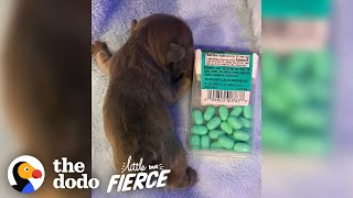 Puppy The Size Of A Tic Tac Box Grows Up To Be A Giant Potato | The Dodo Little But Fierce by The Dodo