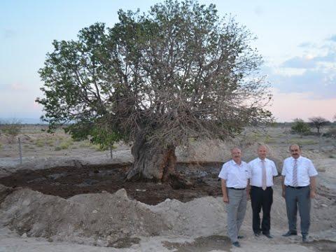 Bor İlçesinde Bir Kaç Asırlık Ağaç Bulundu