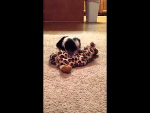Pongo playing with toy at 5 weeks