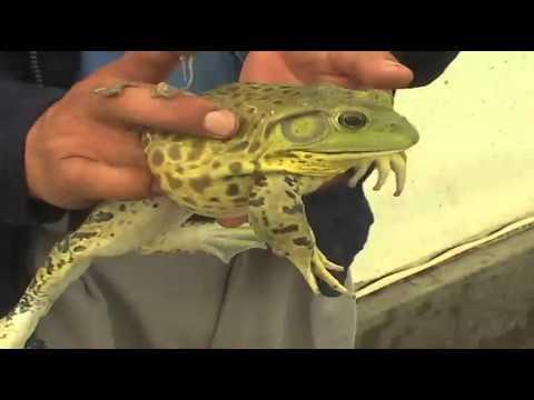 Crían ranas nutritivas y afrodisíacas en Edomex