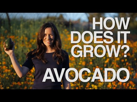 AVOCADO | How Does it Grow?