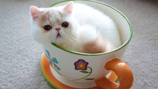 This Teacup Kitten Is The Cutest Thing You'll See Today!