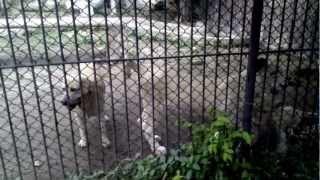 White Labrador In The Tiger Den, At Bangkok Crocodile Zoo