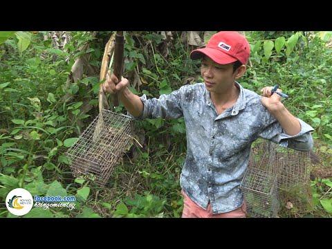 Đặt Bẫy Bắt Chuột Cống Nhum - Chuột Khìa Nước Dừa | Hội Ngộ Miền Tây - Tập 60 - Thời lượng: 31 phút.