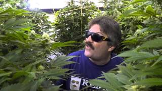Afghani Bullrider Cannabis Plants in 4K by Urban Grower