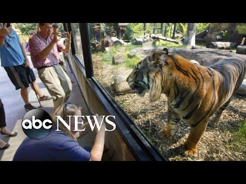 Sanjiv the tiger attacks zookeeper