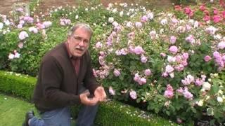 #113 Pflanze 3 Rosen!