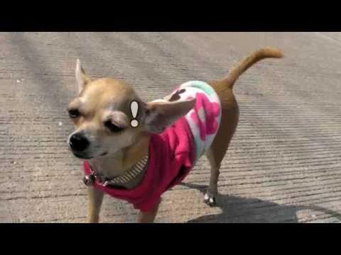 Funny Chihuahua  jumping!!  benny hills ชิวาว่า หรือ ม้าดีด? 55
