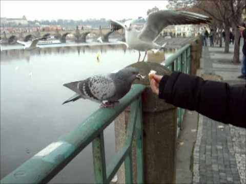Friendly pigeon in Praha