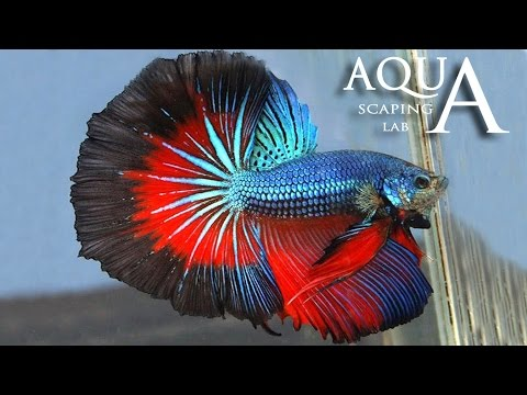 acquariofilia - betta splendes