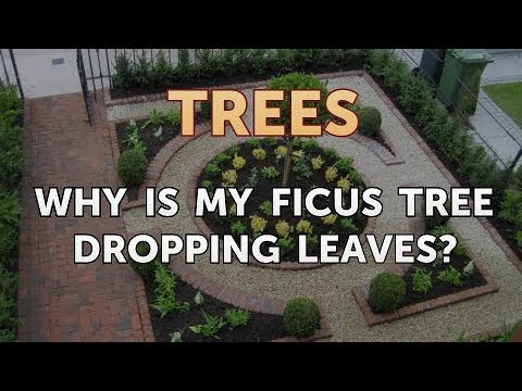 Why Is My Ficus Tree Dropping Leaves?