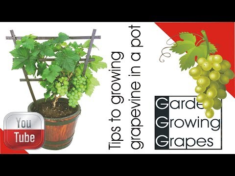 🍇 Tips to growing - grapevine in a pot 🍇