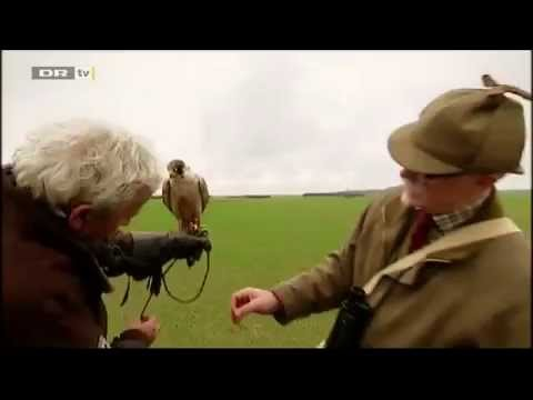 Owner watches his falcon kamikaze directly into truck on danish television