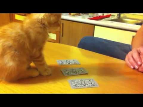 gatto fenomenale e il gioco delle tre carte - incredibile!