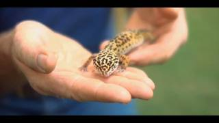 Exotic Pets: What Is A Leopard Gecko?