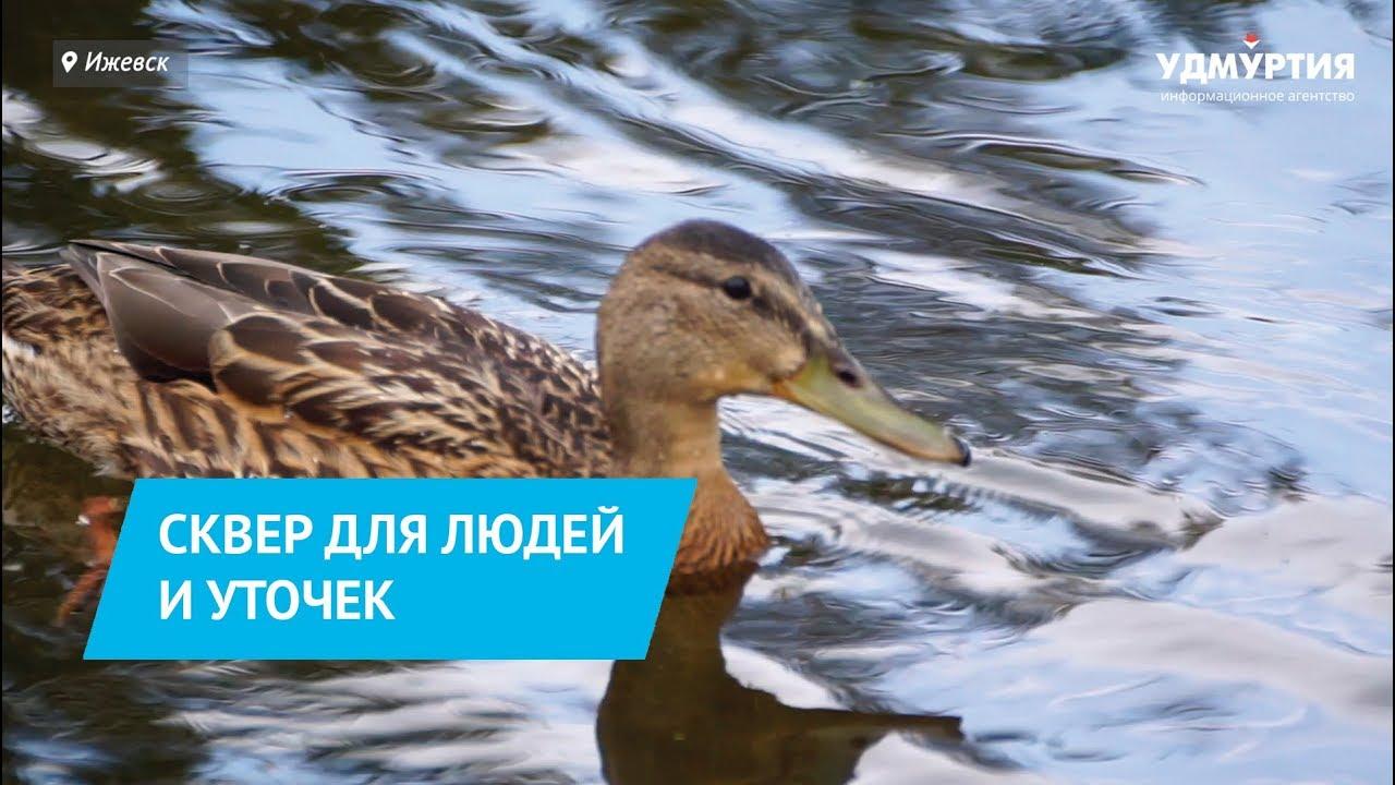Спасти уток - главная миссия благоустройства сквера Оружейника Драгунова