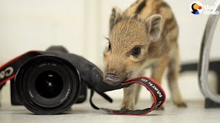 Newborn Wild Boar Loves Rice Pudding | The Dodo
