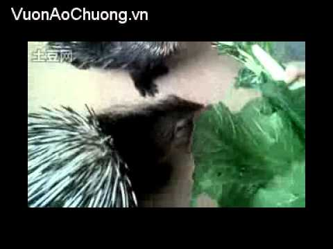 Nuôi Nhím Tại Trung Quốc,Phần 3,Kỹ Thuật Nuôi Nhím