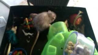 Owning Rats As Pets 101- Part 1