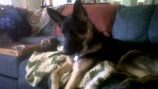 German Shepherd Loves The Dog Whisperer
