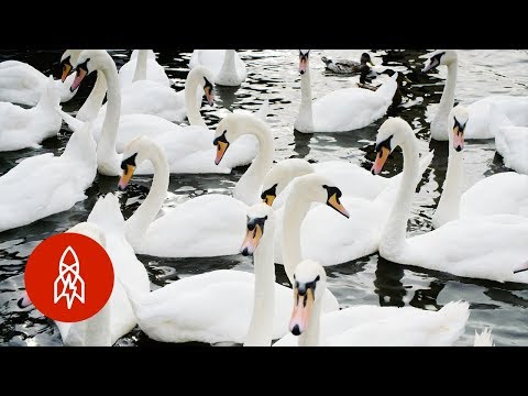 Why Swans in England Get the Royal Treatment