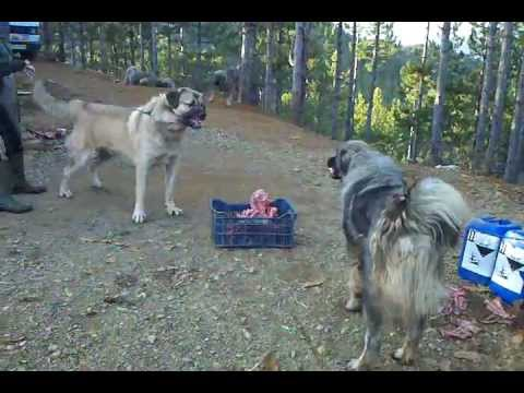 Qen Sharri vs Pit Bull http://tube.7s-b.com/Qen+Sharri/