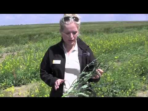 canola - Tiffany Martinka of the Canola Council of Canada helps http://www.canolaschool.com viewers determine when they should swath their canola.