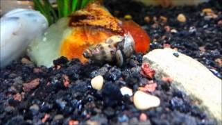 Assassin Snail Feast!