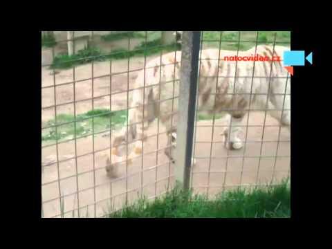 Bílí tygři v zoo Dvorec u Borovan 16.4.2016