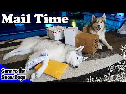 Huskies Get Treat And Toys | Mail Time Unboxing