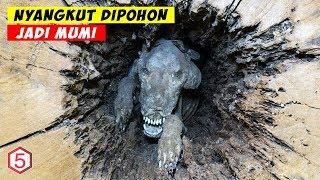 Video Nyangkut Di Pohon Selama 20 Tahun, Anjing ini malah Jadi Mumi MP3, 3GP, MP4, WEBM, AVI, FLV April 2019