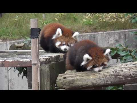 Baby Red Pandas Waddle Across Log Cute
