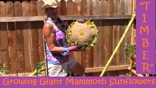 "Video ""Timber!"" Growing Giant Mammoth Sunflowers MP3, 3GP, MP4, WEBM, AVI, FLV Mei 2019"