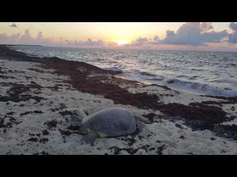 Dostrzegł rannego żółwia  gdy podszedł bliżej, wiedział, że musi działać szybko