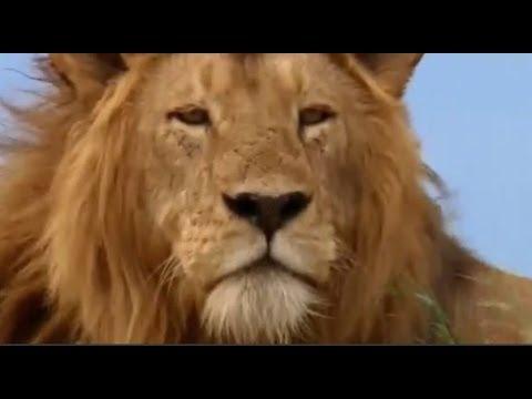 Erkek Aslan Yavrusunu Öldüren Sırtlanı Parçalıyor
