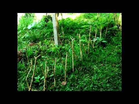 Kratom Ethnobotanical Visionary Herbals