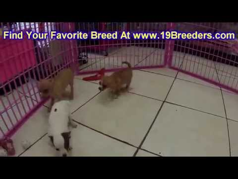 Chihuahua, Puppies, For, Sale, in, Tampa, Florida,FL,St Petersburg,Clearwater,