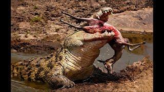 Crocodile attacks elephant, pig, impala - Animal attacks - Crocodile kills lion! Crocodile eating cr