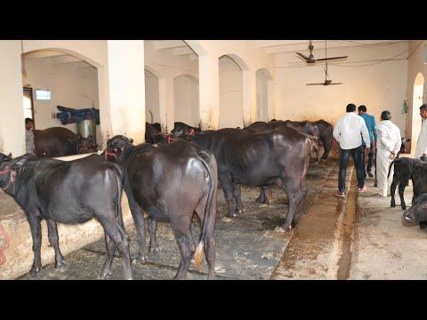 Video FOR SALE - 6 Milking & 3 Murrah heifer at Sansaniwal Dairy Farm download in MP3, 3GP, MP4, WEBM, AVI, FLV January 2017