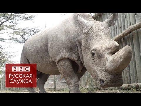 Последний самец северного белого носорога умер в Кении (видео)
