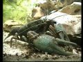 European Crayfish with nice closeups / Europäischer ...