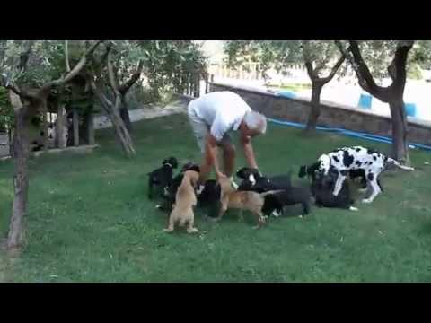 Vendita alano cuccioli da riproduttori selezionati enci - fci