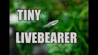 World's SMALLEST livebearer! Least Killifish by Rachel O'Leary